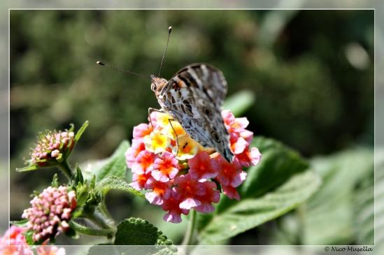 farfalla su fiore 2